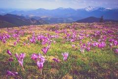 Pole pierwszy kwitnąca wiosna kwitnie krokusa jak tylko śnieg pochodzi na tle góry w świetle słonecznym zdjęcie stock
