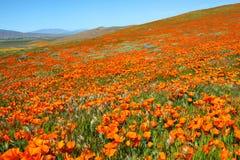 Pole pomarańczowi Kalifornia maczki obrazy royalty free