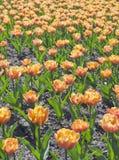 Pole pomarańczowi tulipany Obrazy Stock