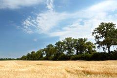 pole pszenicy żółty Obraz Stock