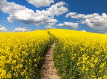Pole rapeseed, canola, colza lub ścieżka sposób, Zdjęcie Royalty Free
