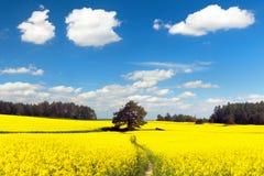 Pole rapeseed, canola lub colza z ścieżka sposobem, Zdjęcie Stock
