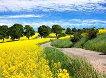 Pole rapeseed, canola lub colza z wiejską drogą, Fotografia Stock