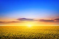 Pole rapeseed kwitnie w wiośnie obraz stock