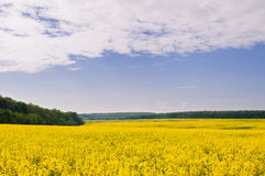 Pole rapeseed przeciw niebu z chmurami zdjęcie stock