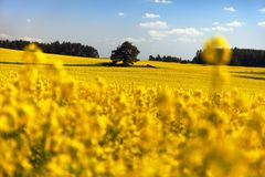 Pole rapeseed - roślina dla zielonej energii Zdjęcie Stock