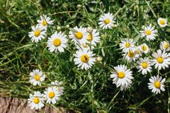 Pole rumianków kwiaty Zdjęcie Stock