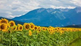 Pole słoneczniki w południowym Styria zdjęcie stock