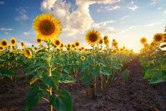 Pole słoneczniki. zdjęcie royalty free