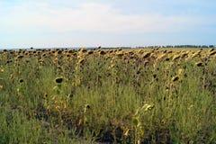 Pole słoneczniki przygotowywa zbierać obrazy stock