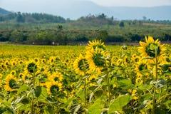 Pole słoneczniki w Pak Chong okręgu, Nakhon Ratchasima prowincja, northeastern Tajlandia Zdjęcia Stock