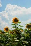 Pole słoneczniki z jeden znakomitym słonecznikiem Obrazy Stock