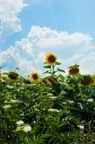 Pole słoneczniki z jeden znakomitym słonecznikiem Zdjęcie Stock