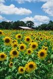 Pole słoneczniki z stajnią Zdjęcie Royalty Free