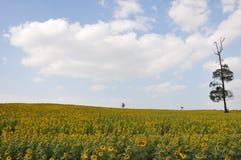 Pole słonecznik na niebieskiego nieba tle Zdjęcie Royalty Free