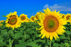 Pole słoneczniki i niebieskie niebo Obrazy Royalty Free