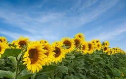 Pole słoneczniki przeciw jasnemu niebieskiemu niebu Obrazy Royalty Free