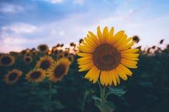 Pole słoneczniki przy zmierzchem Obraz Stock