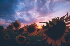 Pole słoneczniki przy zmierzchem Zdjęcia Stock