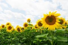 Pole słoneczniki w Rosja obraz royalty free