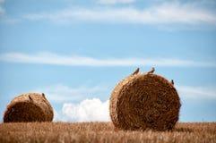 pole stacza się pszenicznego kolor żółty Zdjęcia Royalty Free