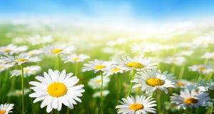 Pole stokrotka kwiaty Obrazy Stock