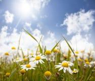 Pole stokrotka kwiaty Zdjęcia Royalty Free