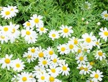 Pole stokrotka kwiaty Zdjęcia Stock