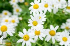 Pole stokrotka kwiaty Zdjęcie Stock