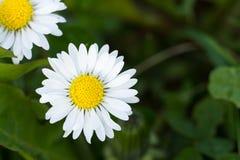 Pole stokrotka kwiaty Zdjęcie Royalty Free