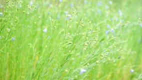 Pole stokrotki i łąka na deszczowym dniu w ranku zbiory wideo