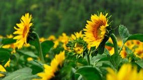 Pole Sun kwiat fotografia stock