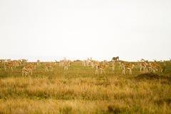 Pole Thomson gazela w Tanzania, Afryka Obraz Royalty Free
