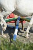 Pole training white horse. Cose up images of a horse walking the pole circle training Royalty Free Stock Photography