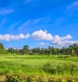 Pole trawa i kokosowe palmy Obrazy Stock