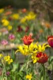 Pole tulipanów kwiaty zdjęcia royalty free