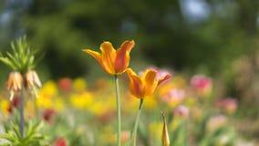 Pole tulipanów kwiaty fotografia stock
