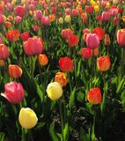 Pole tulipan Kwitnie kwitnienie w wiośnie obrazy royalty free