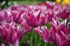 Pole tulipan kwitnie w wiośnie zdjęcia stock