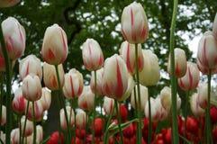 Pole tulipany Obrazy Royalty Free