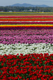 Pole tulipany Fotografia Stock