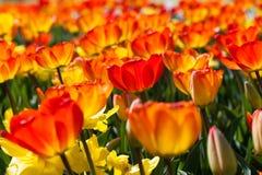 Pole tulipany obraz royalty free