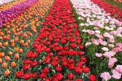 Pole tulipany obrazy stock
