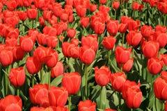 pole tulipany pełni czerwoni Obrazy Stock