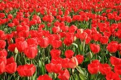 pole tulipany pełni czerwoni Zdjęcia Stock