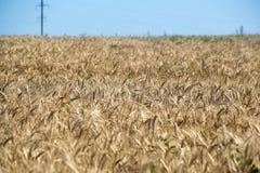 pole ucho ilustraci wektoru banatka zboża Piękny widok pszeniczny pole Żniwo chleb Banatka, żyto Obrazy Stock