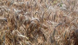 pole ucho ilustraci wektoru banatka zboża Piękny widok pszeniczny pole Żniwo chleb Banatka, żyto Fotografia Royalty Free