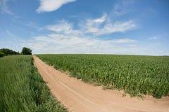 Pole uprawne i podjazd gospodarstwo rolne w wiejskim Rolniczy pole na którym r zielona kukurudza Obrazy Stock