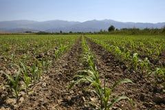 Pole uprawne, kukurydzane rozsady rosnąć w polu w wiośnie Obraz Stock