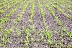 Pole uprawne Małe kukurudz flance, pole krajobraz Luźna ziemia i badyle kukurudza na polu Zdjęcie Royalty Free